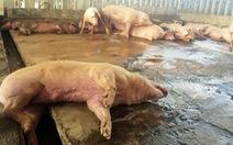 Heo chuẩn VietGAP dính chất cấm:Không liên quan hai hộ chăn nuôi