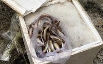 Bắt xe giường nằm chở 500kg cá đục nghi nhiễm độc