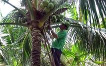 Dừa tươi khan hiếm, dân hái dừa non bán