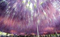 Nhật Bản lung linh mùa hoa Fuji tháng 5