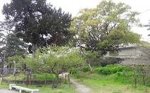Đến Nhật xem người Nhật bảo vệ cây xanh