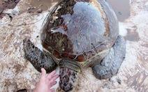 Thả rùa biển quý hiếm nặng 40kg về biển