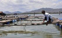 """Cá bè chết trên sông Chà Và, doanh nghiệp """"đôi co"""" về thiệt hại"""