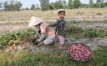 Mùa khoai lang vùng đất cát Quảng Nam