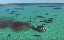 Clip: 70 cá mập hổ tấn công cá voi