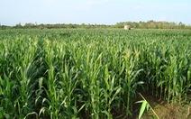Hỗ trợ chuyển đổi từ trồng lúa sang trồng ngô