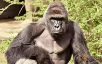 Tranh cãi quanh việc giết gorilla để cứu sống em bé