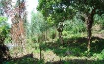 Phá rừng tại khu bảo tồn thiên nhiên Sơn Trà