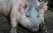 Phát triển tụy người trong cơ thể lợn để đợi cấy ghép