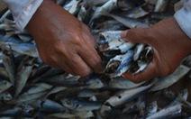 Chuyển mẫu cá nục nhiễm phenol ra Hà Nộikiểm tra lại