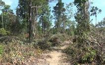 Phú Yên cho lấy 870ha rừng làm dự án nuôi bò