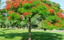 Hà Nội đã trồng 300 cây phượng và sẽ trồng tiếp