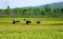 Quản lý sử dụng hợp lý đất trồng lúa