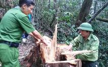 Cục Kiểm lâm thị sát khu rừng pơmu trăm tuổi bị đốn