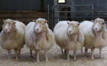 """Tin vui mới về những """"chị em ruột"""" của cừu Dolly"""