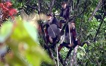 Phát hiện nhiều đàn vượn tại rừng Lệ Thủy