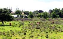 Quảng trường rừng Sác bỏ hoang, dân tận dụng... nuôi bò