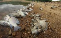 Cá chết trắng hồ, hộ nuôi cá méo mặt