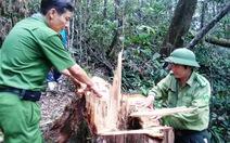 """Quảng Nam thưởng """"nóng"""" đội phá án vụ phá rừng pơ mu"""
