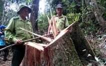 Công khai minh bạch kết quả vụ phá rừng pơmu