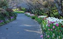 Mùa hoa tulip ở xứ sở chuột túi