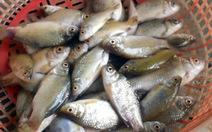 Thủng thỉnh mùa cá luối