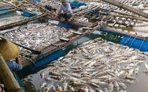 Hà Tĩnh: Cá lồng bè chết trắng chưa rõ nguyên nhân