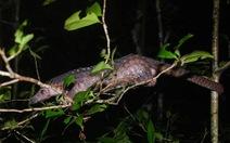 Bí mật thả 33 con tê tê về rừng