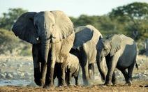 Hơn 110.000 con voi biến mất tại châu Phi trong một thập kỷ qua