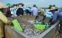Nông dân Cà Mau trúng mùa cá ngay trên đất nuôi tôm