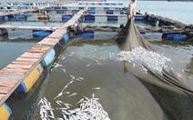 Cá bè chết do môi trường thay đổi đột ngột
