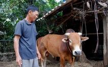 Gặp lại 'con bò vô vọng' trong lũ dữ ở xã Văn Hóa