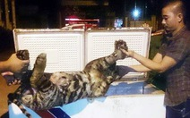 Thủ đoạn đường dây buôn thịt hổ từ Lào về Việt Nam