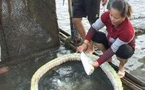 Hơn 350 lồng cá nuôi ở Thừa Thiên - Huế tiếp tục chết