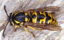 Bị đàn ong vò vẽ tấn công, một cô giáo nguy kịch