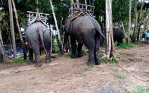 Voi Tây nguyên kêu cứu - Kỳ 1:Những cái chết của voi