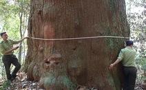 56 cây samu dầu Nghệ An là cây di sản Việt Nam