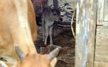 Bò mẹ bình thường sinh bê con 7 chân