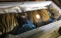 Thu giữ con hổ đông lạnh hơn 100kg tại nhà dân
