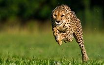 Loài chạy nhanh nhất thế giới đối mặt nguy cơ tuyệt chủng