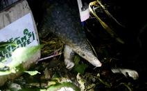 Hơn 200 con tê tê quý hiếm được thả về rừng