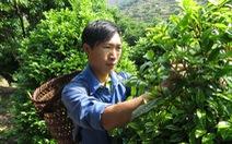 Trai 9X làm giàu nhờ trồng trà hoa vàng, cam ngọt