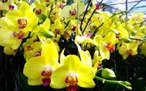 Tết Đinh Dậu, hoa lan nở muộn