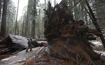 Cây ngàn năm nổi tiếng nước Mỹ bị bão quật ngã