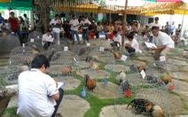 Thú chơi gà kiểng giữa Sài Gòn