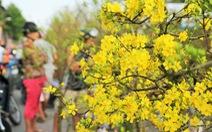 Mai vàng nở rộ sau mưa trái mùa, chủ vườn thất thu