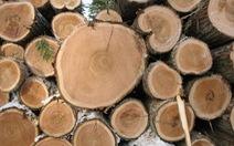 Lâm tặc cướp 45 lóng gỗ là bảo vệ rừng 'bịa đặt'