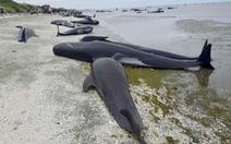 Hàng trăm cá voi 'vô bờ để chết' ởNew Zealand