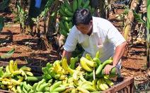 Trung Quốc ngưng thu mua, chuối đổ cho… dê ăn
