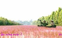 Ở Tam Nông có đồng 'hoa lạ': hoa nhĩ cán